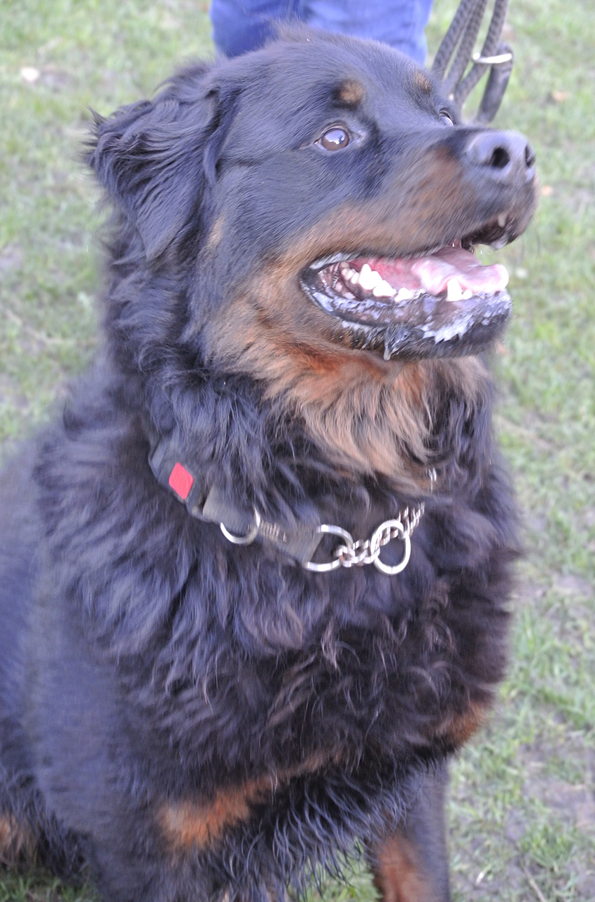 Ozzie Long Haired Rottweiler I Need A Home